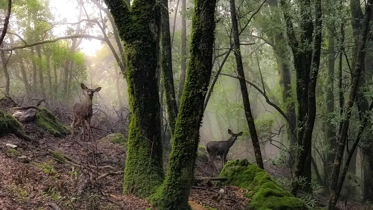 Deer in the woods on Mount Umunhum