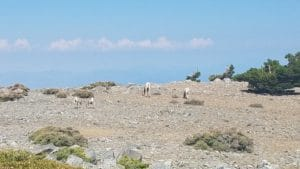 Mountain Goat family with 2 kids on top of Mount Harwood (from July 2018) 2018-07-14_MountainGoatsOn